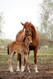 Brown cute foal portrait with his mother. At the pasture Royalty Free Stock Image