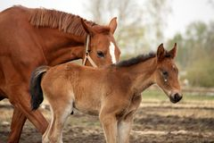 Brown cute foal portrait with his mother. At the pasture Royalty Free Stock Photo