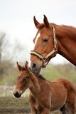 Brown cute foal portrait with his mother. At the pasture Stock Photos