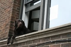 Brown cute Labrador retriever at window Royalty Free Stock Images
