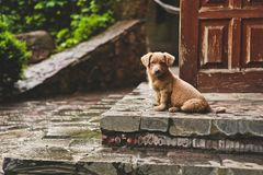 Brown cute puppy dog sits steps house. Brown cute puppy dog sits on the steps of the house Royalty Free Stock Photography