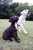 Brown cute puppy and labrador. Cute puppy dogs on grass looking up Stock Photo