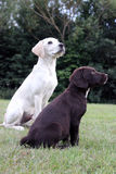 Brown cute puppy and labrador puppy. Cute puppy dog sitting down on grass Royalty Free Stock Images