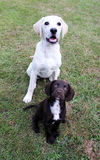 Brown cute puppy and labrador sat looking portrait. Cute puppy dogs sat on grass looking up Stock Images