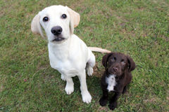 Brown cute puppy and labrador sat looking up. Cute puppy dogs sat on grass looking up Royalty Free Stock Images