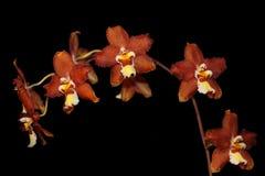 Brown cymbidium Orchid Stock Photos
