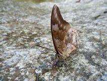 Brown czerwony motyl na popielatym kamieniu Zdjęcia Royalty Free