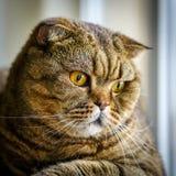 Brown a dépouillé le chat écossais de pli sur un fond brouillé photos stock