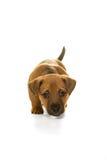 Brown, dębny Jack Russel szczeniak odizolowywający w bielu Obrazy Royalty Free