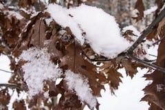Brown dębowego drzewa liście zakrywający z hoarfrost W górę zdjęcia royalty free