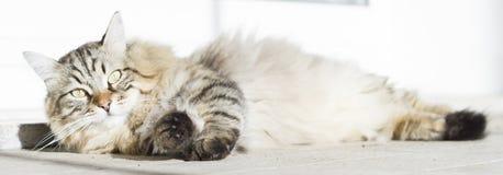 Brown długi z włosami kot siberian trakenu lying on the beach w garedn Obraz Stock