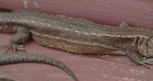 Brown długiego ogonu pospolita jaszczurka wtykał na drewnie zbiory wideo