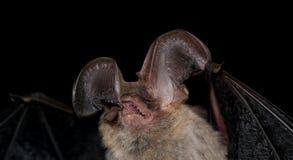 Brown długouchy nietoperz obrazy stock