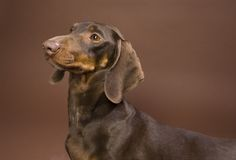 Brown dachshund Royalty Free Stock Image