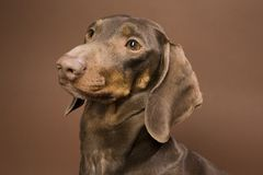 Brown dachshund stock photo