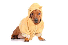 Brown dachshund dog Royalty Free Stock Image