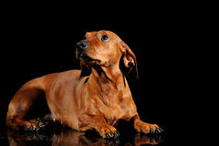 Brown dachshund dog isolated over black Stock Photos