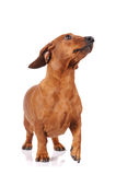 Brown dachshund dog isolated Royalty Free Stock Images