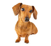 Brown dachshund dog isolated Royalty Free Stock Image