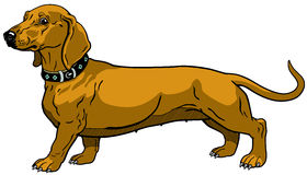 Brown dachshund Stock Images