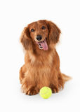 Brown dachshund isolated on white background Stock Photos