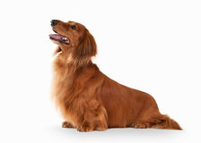 Brown dachshund isolated on white background Royalty Free Stock Photography