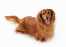 Brown dachshund isolated on white background Stock Image