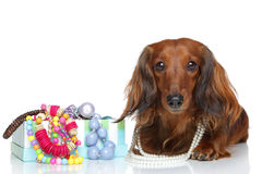 Brown Dachshund lying on a white background Stock Photos