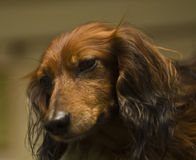 Brown dachshund, portrait Stock Photo