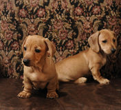 Brown Dachshund Puppies. Puppy Brown Shorthaired Dachshund resting on stones Stock Photo
