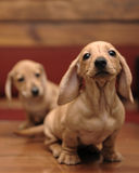 Brown Dachshund Puppies. Puppy Brown Shorthaired Dachshund resting on stones Royalty Free Stock Photos