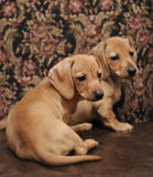 Brown Dachshund Puppies. Puppy Brown Shorthaired Dachshund resting on stones Royalty Free Stock Photo