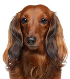 Brown Dachshund puppy on a white background Stock Images