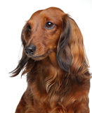 Brown Dachshund puppy on a white background Royalty Free Stock Photography