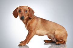 Brown Dachshund sits on a grey background Royalty Free Stock Images