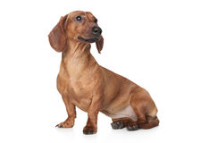 Brown Dachshund on white background Stock Image