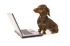 Brown dachshund working on laptop royalty free stock photos