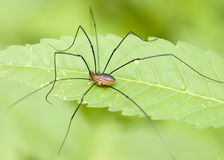 Brown Daddy-long-legs Royalty Free Stock Photos