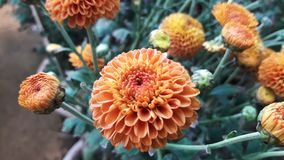 Brown Dahlia flower in a park on close view. stock photo