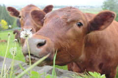 Brown Dairy Cow Smelling Dandelion Stock Photo