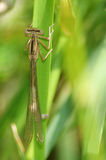A brown damsel fly. On a blade of grass Stock Photography