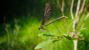 Brown damselfly. (Argia fumipennis) standing on a green leaf. Blurred background Royalty Free Stock Images