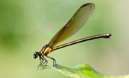 Brown damselfly and green leaf royalty free stock photos