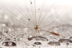 Brown dandilion on wet, silver surface Stock Image