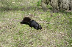 Squirrel on the grass. Brown dark squirrel on the grass Stock Images