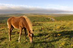 Brown Dartmoor Pony. Single brown Dartmoor Pony eating grass in late summer evening light royalty free stock photography