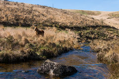 Brown Dartmoor pony on moorland by river. Wild horse in alpine in national park in Devon, England, UK, alongside upland stream stock images