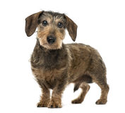 Brown Daschund standing, 11 years old , isolated Royalty Free Stock Photography