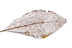 Brown dead leaf on white Royalty Free Stock Photo