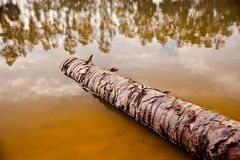 A dead tree parts fallen in the water of a lake. Brown dead tree parts around a lake water unique photo royalty free stock image